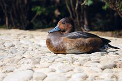 Wild duck Royalty Free Stock Photos