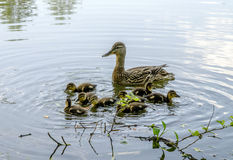 Wild duck and little ducklings. On the lake in the woods Stock Photography