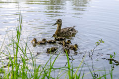 Wild duck and little ducklings. Swimming on the lake Royalty Free Stock Photos