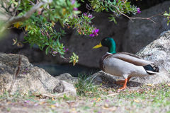 Wild duck. A male of a wild duck Stock Image