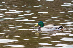 Wild duck. A male of a wild duck Royalty Free Stock Photos