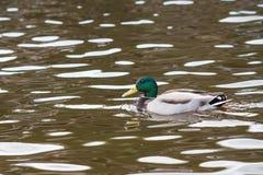 Wild duck Royalty Free Stock Photos