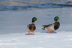 Wild duck male (Anas platyrhynchos). In the winter on snow Royalty Free Stock Image