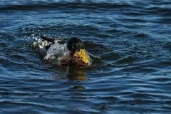 Wild duck male in danish harbor Royalty Free Stock Photos