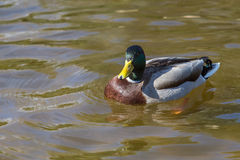 Wild duck. A male of  Wild duck relaxing Royalty Free Stock Photography