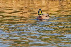 Wild duck swims in the lake. Wild duck, male swims in the lake Royalty Free Stock Photos