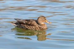 Wild duck Mallard Anas platyrhynchos. Female Duck. Wild duck Stock Image