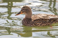 Wild duck Mallard Anas platyrhynchos. Female Duck. Wild duck Stock Photography