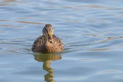 Wild duck Mallard Anas platyrhynchos. Female Duck. Wild duck Stock Images