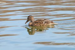 Wild duck Mallard Anas platyrhynchos. Female Duck. Wild duck Royalty Free Stock Photography