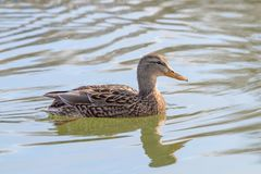 Wild duck Mallard Anas platyrhynchos. Female Duck. Wild duck Royalty Free Stock Photo