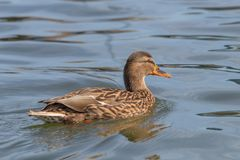Wild duck Mallard Anas platyrhynchos. Female Duck. Wilde Duck Stock Photos