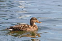 Wild duck Mallard Anas platyrhynchos. Female Duck. Wilde Duck Stock Photo