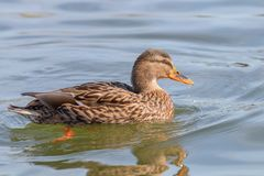 Wild duck Mallard Anas platyrhynchos. Female Duck. Wilde Duck Stock Photography