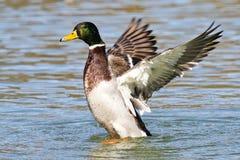 Wild duck or mallard, Anas platyrhynchos in lake stock photos