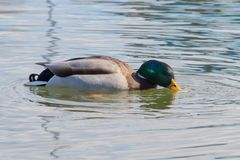 Wild duck Mallard Anas platyrhynchos. Male Duck. Wild duck Stock Photos