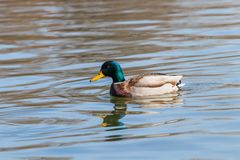 Wild duck Mallard Anas platyrhynchos. Male Duck. Wild duck Royalty Free Stock Photography