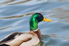 Wild duck Mallard Anas platyrhynchos. Male Duck. Wilde Duck Stock Photo