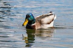 Wild duck Mallard Anas platyrhynchos. Male Duck. Wild duck Royalty Free Stock Image
