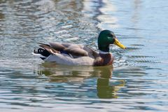 Wild duck Mallard Anas platyrhynchos. Male Duck. Wild duck Royalty Free Stock Photo
