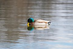 Wild duck Mallard Anas platyrhynchos. Male Duck. Wild duck Royalty Free Stock Photos