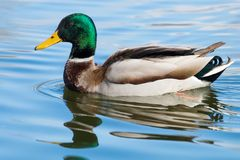 Wild duck Mallard Anas platyrhynchos. Male Duck. Wild duck Stock Image