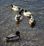 WIld duck or mallard, Anas platyrhynchos, pair swimming in lake. Close up of WIld duck couple swimming in water Royalty Free Stock Image