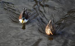WIld duck or mallard, Anas platyrhynchos, pair swimming in lake. Close up of WIld duck couple swimming in water Stock Photos