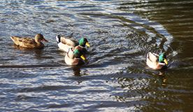 WIld duck or mallard, Anas platyrhynchos, pair swimming in lake. Close up of WIld duck couple swimming in water Stock Photo