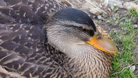 Wild duck mallard, female. Close-up of a wild duck mallard, female Royalty Free Stock Photography