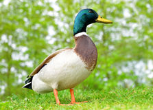 Wild duck or mallard on green grass. Stock Photo