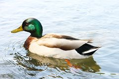 A wild duck mallard with green plumage on his head floats along the water surface of lake. A wild duck mallard with green plumage on his head floats along the Royalty Free Stock Photography