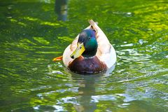 A wild duck mallard with green plumage on his head floats on lake with green water. Royalty Free Stock Photos