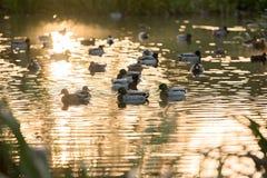 Mallard. Wild duck mallard on the lake Royalty Free Stock Photo