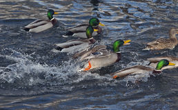 Wild duck - mallard on a lake. Beautiful  drake swimming along on a dark blue water Royalty Free Stock Photo