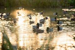 Mallard. Wild duck mallard on the lake Stock Images