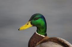 Wild duck. (mallard) male bird Stock Photo