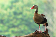 Wild duck. Mallard resting on branch on the bed of a river Stock Images