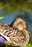 Wild duck (mallard) resting eyes closed. Portrait of a wild duck (mallard) resting eyes closed in its natural, wetland habitat in Canada Stock Photos