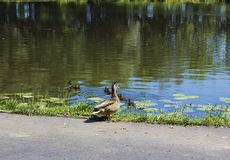 Wild duck Mallard and ducklings. Wild duck Mallard and swimming ducklings swimming in river Stock Photos