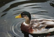 Wild duck. Mallard swimming in a lake Royalty Free Stock Photography