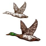 Wild duck mallard vector isolated sketch icon. Duck or mallard wild bird sketch vector isolated icon. Widgeon drake or goose flying with spread wings. Wildlife stock illustration
