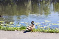 Wild duck Mallard walks by river. Side view Royalty Free Stock Photography