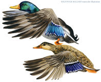 Wild duck mallard watercolor illustration. Stock Photos