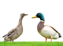 Wild duck or mallard Stock Images