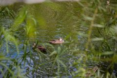 Wild duck in national park. A wild duck in national park or zoo Royalty Free Stock Photography
