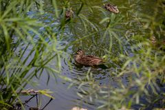 Wild duck in national park. A wild duck in national park or zoo Stock Images