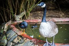 Wild duck in national park. A wild duck in national park or zoo Stock Photos