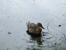 Wild duck in natural conditions. Wild duck on lake. stock photo