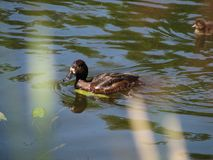 Wild duck in a nature Stock Photography